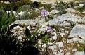 Orchis italica (14)