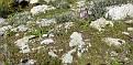 Orchis italica (15)