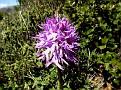 Orchis italica (9)