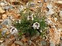 Aethionema saxatile ssp  graecum (1)
