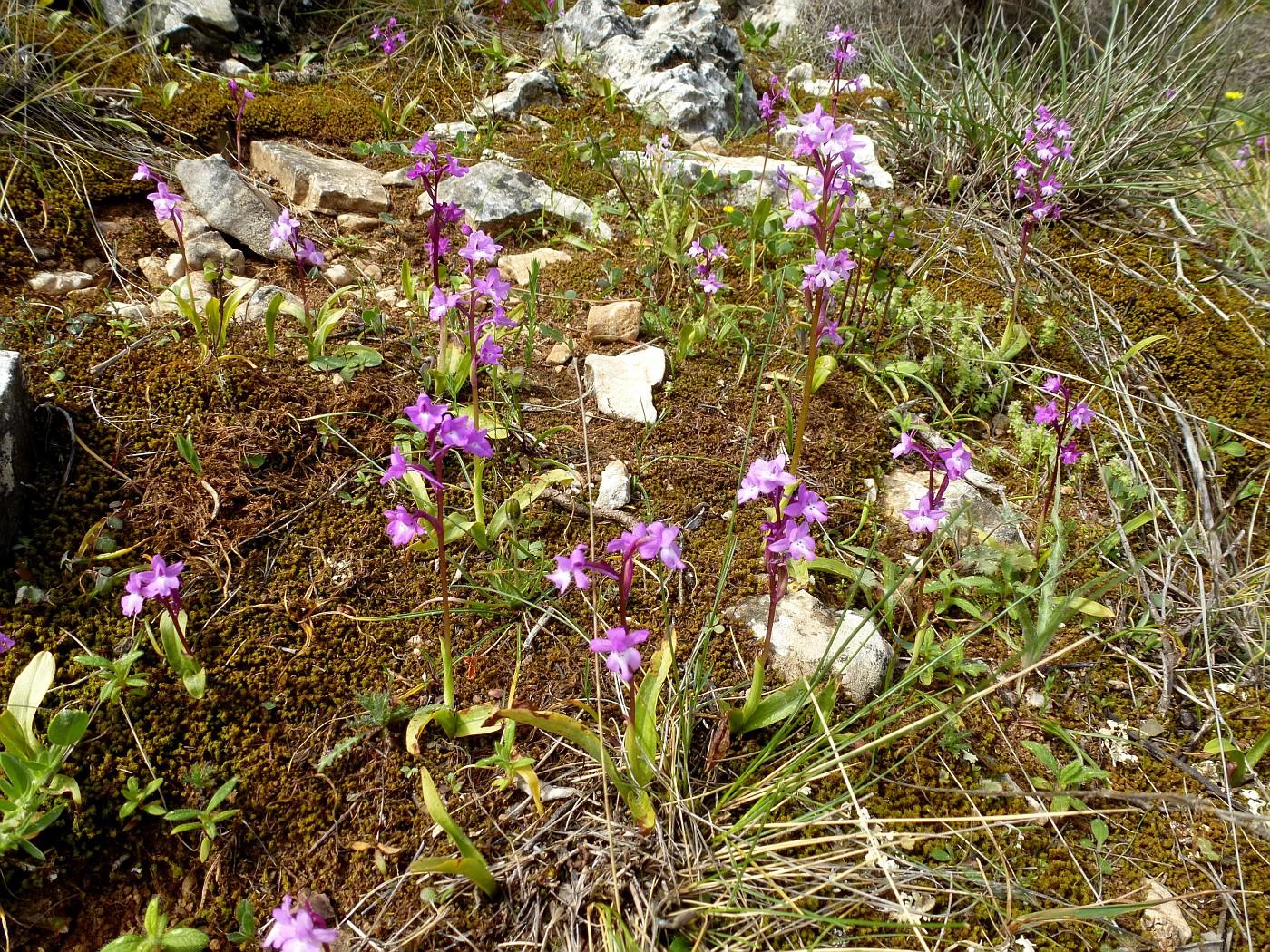 Orchis quadripunctata (1)