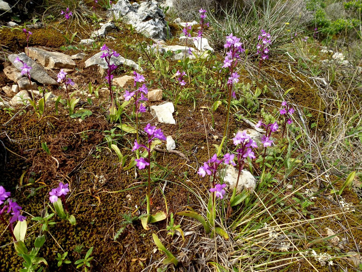 Orchis quadripunctata (2)