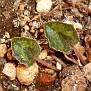Cyclamen cyprium (10)