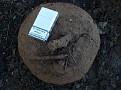 Βολβός C  graecum  17 5 κιλά (2)