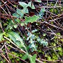 Euphorbia apios (1)
