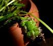 Bellevalia hyacinthoides (4)