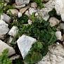 Aristolochia microstoma (16)