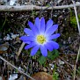 anemone bla (1)