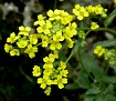 Aurinia saxatilis (3)