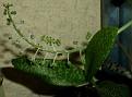 Ledebouria socialis 'Paucifolia' (2)