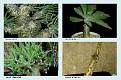 Crassulaceae  (3)