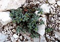 Helianthemum hymettium (5)