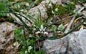 Romulea columnae (13)