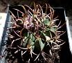 Echinofossulocactus coptonogonus SB13 (11)