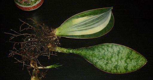 Sansevieria masoniana white variegated (5)