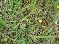 Ophrys ferrum - equinum (1)