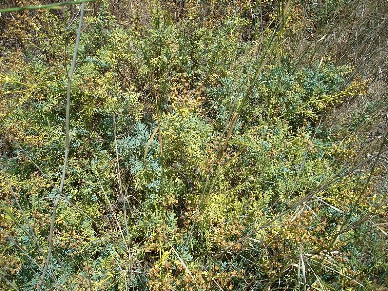Ruta chalepensis - Απήγανος (2)