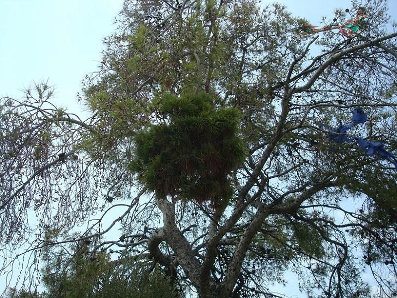 Σκούπα της μάγισσας - Ιογενή μετάλλαξη της τραχείας πεύκης -  Νεοπλασία των πεύκων
