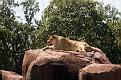 80418_0103 lioness.jpg