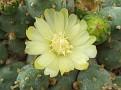 Maihueniopsis ovata