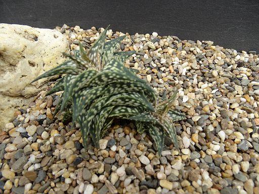 Aloe acutissima v. itamopensis