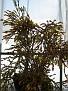 Hatiora salicornioides CG 422