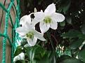 034 Eucharia grandiflora