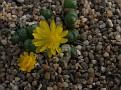 Conophytum aureiflorum Komaggas