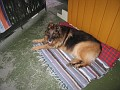 IMG 3673 Rico, Liv's Geman shepherd
