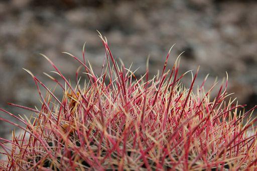 close up of barrel cactus