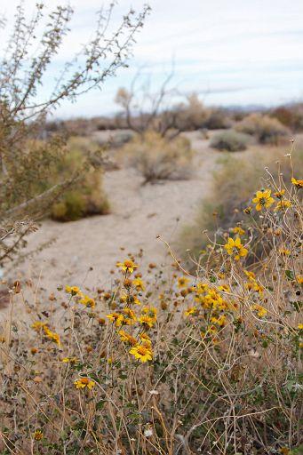 yellow blooms in the desert in December