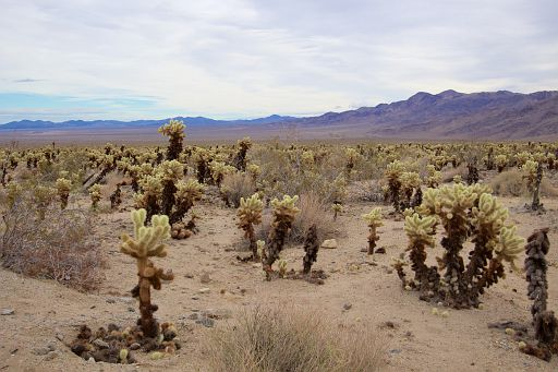 field of teddybear chollas