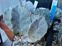 Astrophytum myriostigma cv  'Kinshi'