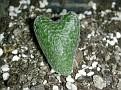Eriospermum dregei - IB13718 Taaiboschlaagte