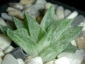 Haworthia retusa v acuminata variegated