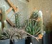 Aloe haworthioides 11282 Madagascar