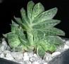 Gasteria maculata cv. Variegata