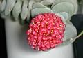 Crassula x ' Morgan's pink'