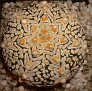 Astrophytum asterias Super Kabuto V-pattern Japan hybrid