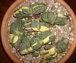 Gasteria gracilis variegata