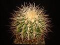 Echinocactus grusonii 'gold'