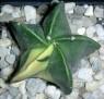 Astrophytum myriostigma nudum variegata