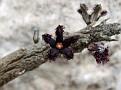 Rhytidocaulon ciliatum Al Bark