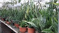 8. Sansevieria collectie