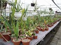 Our Sansevieria collection 2