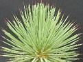 Agave echinoides