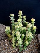 Crassula perforata fa. variegata