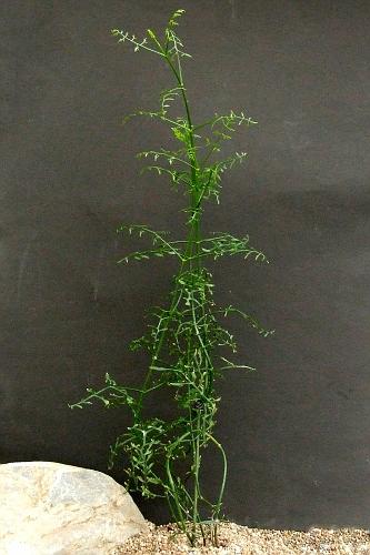 Kalanchoe schizophylla