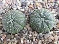 Astrophytum asterias 'Turtle Green'
