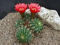Echinopsis chrysochele